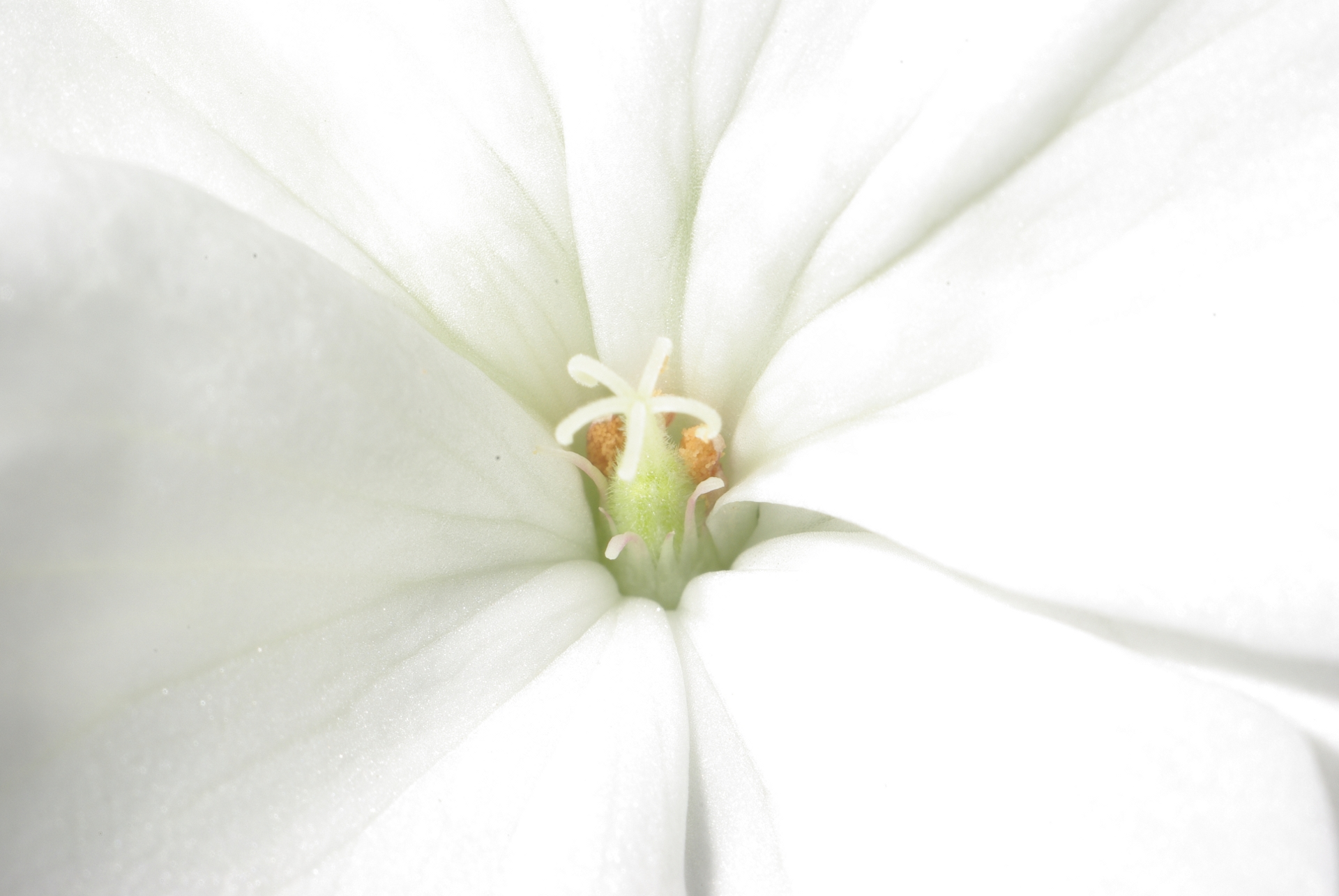 White Pelargonium