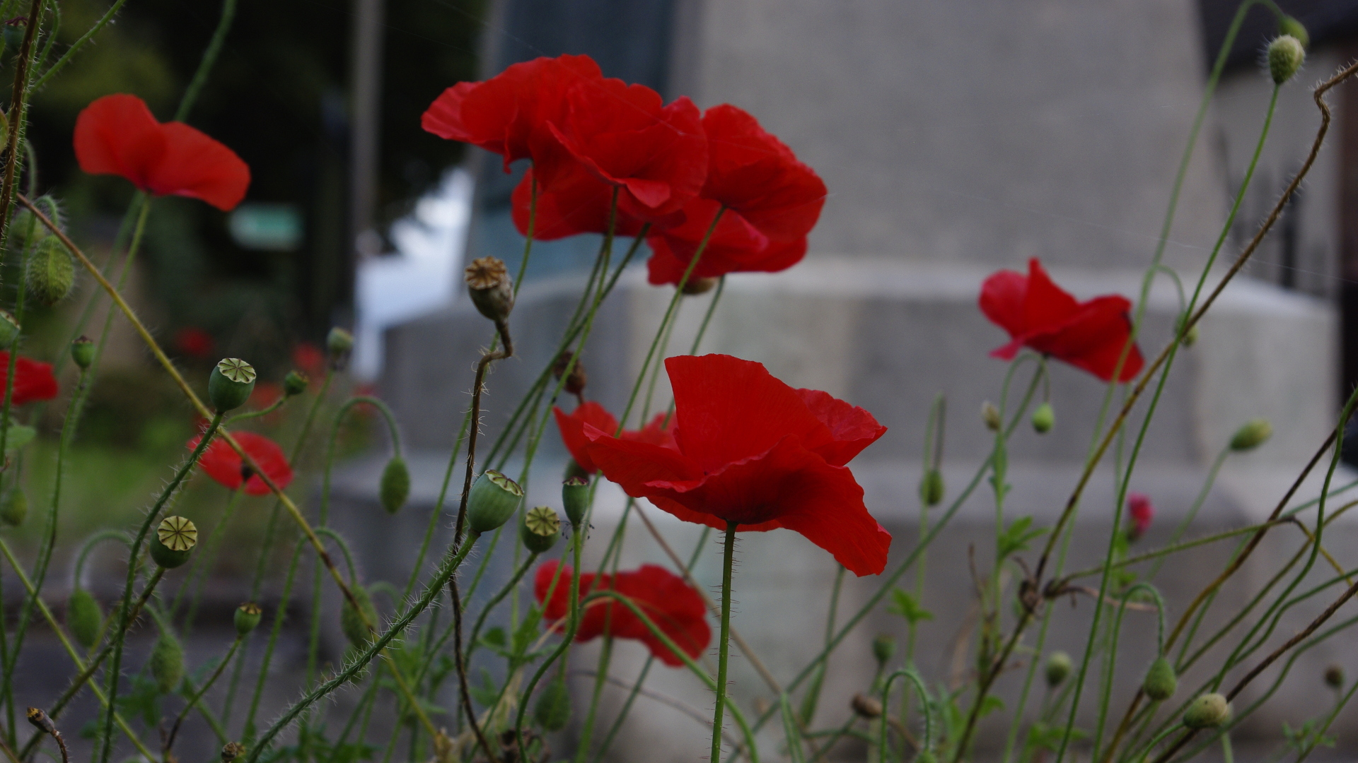 Poppies - 15 October 2015
