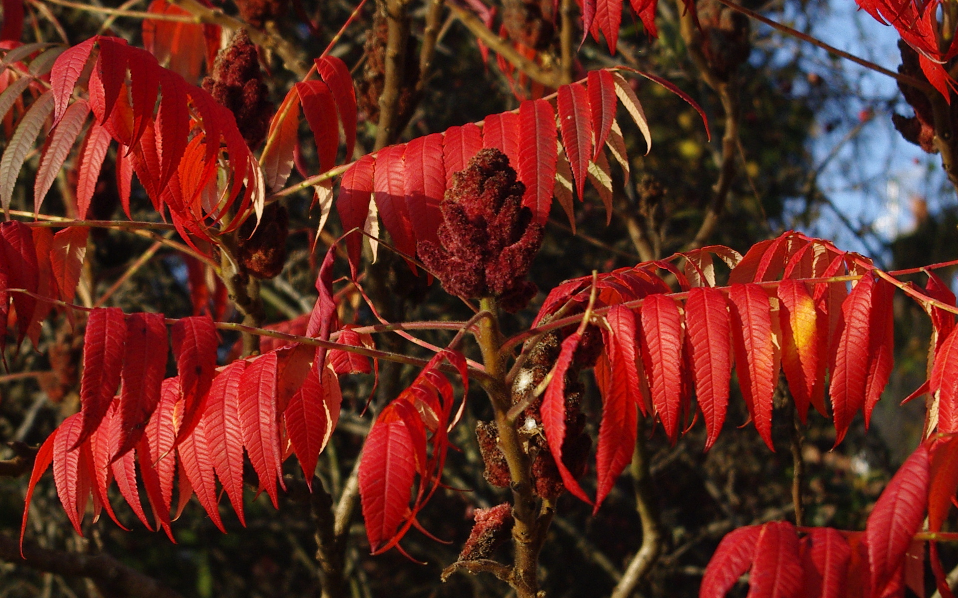 Red Leaves for Autumn
