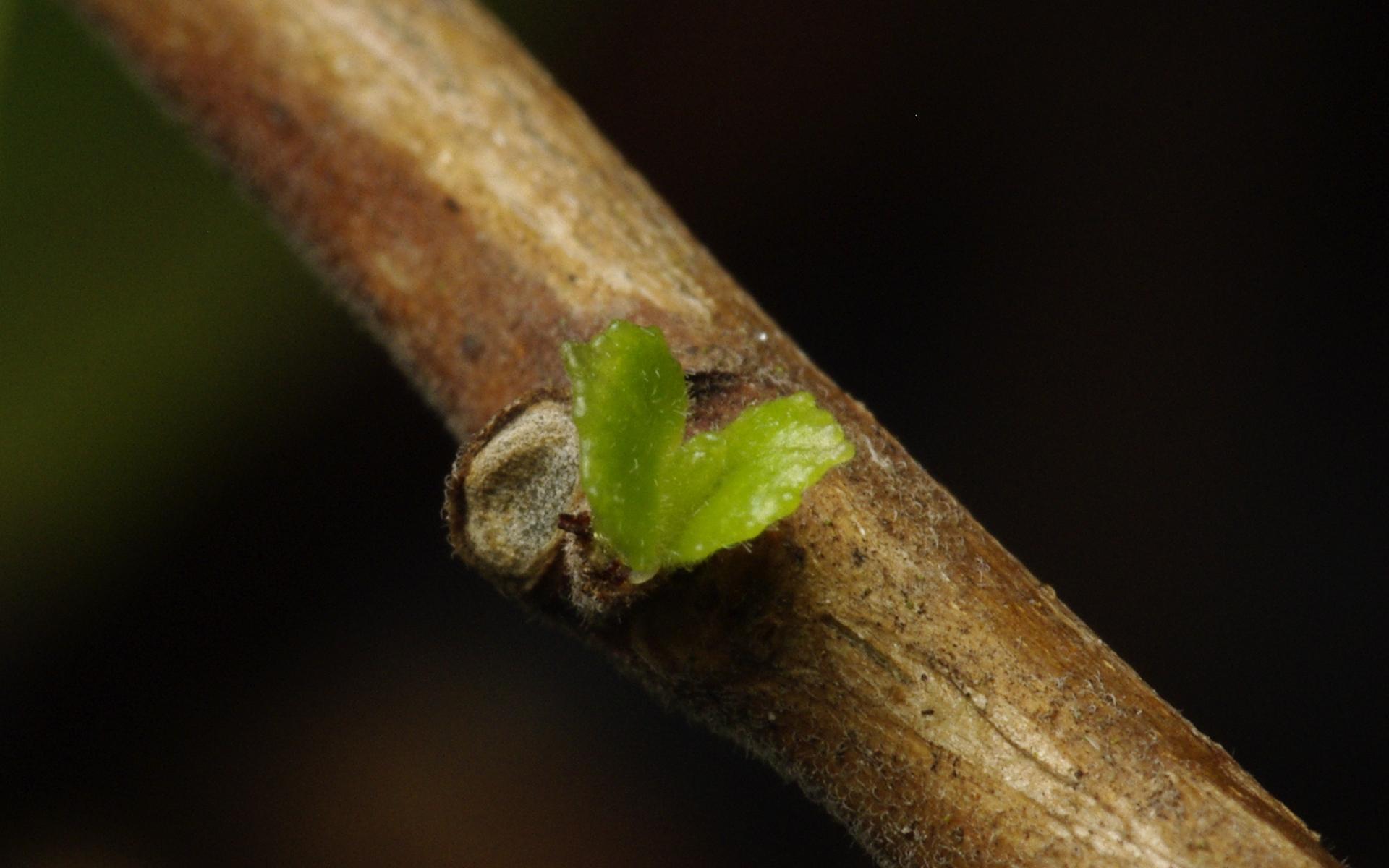 Tiny Fuchsia Bud