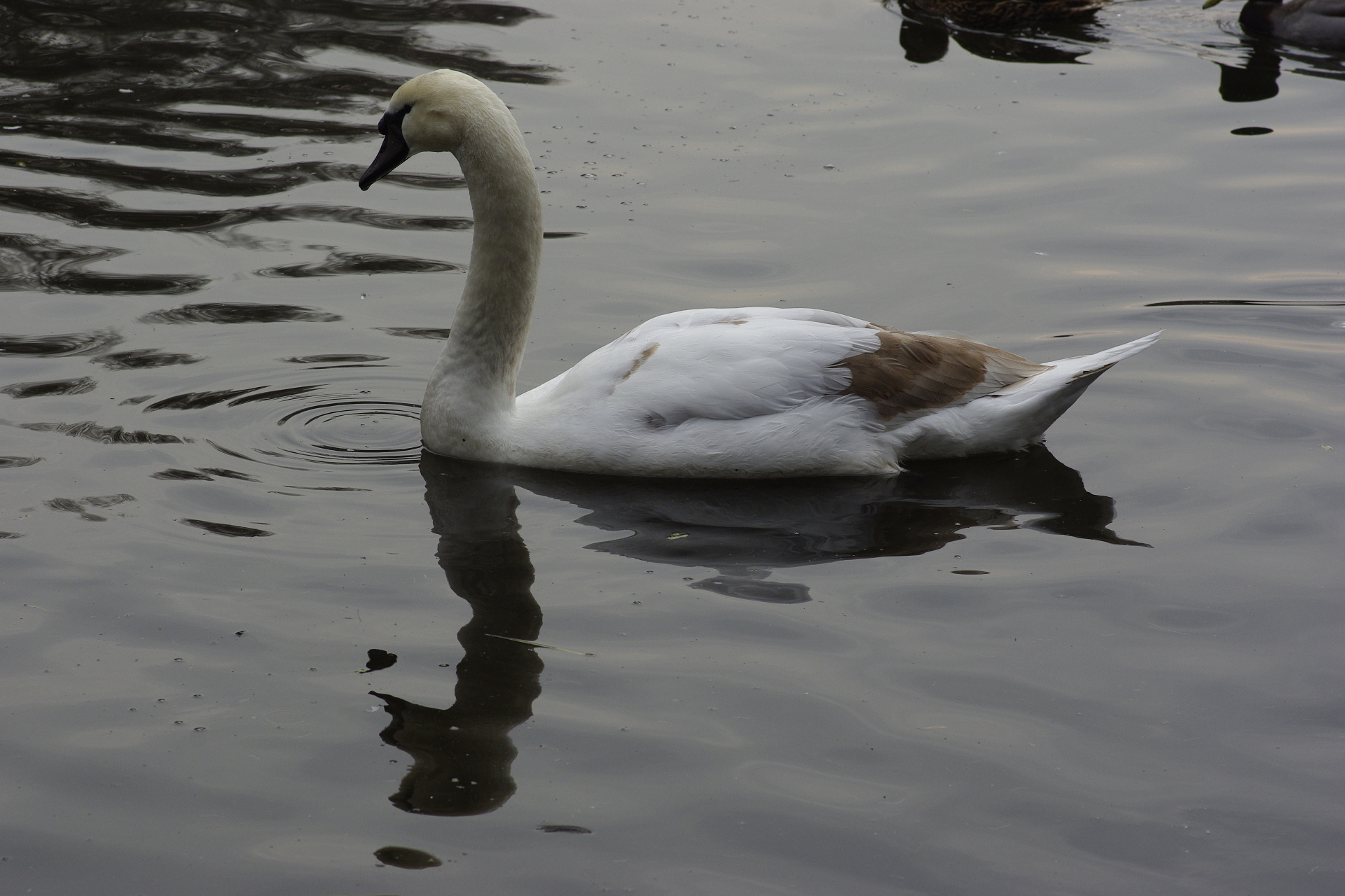 Swan on Wollaton Park Lake