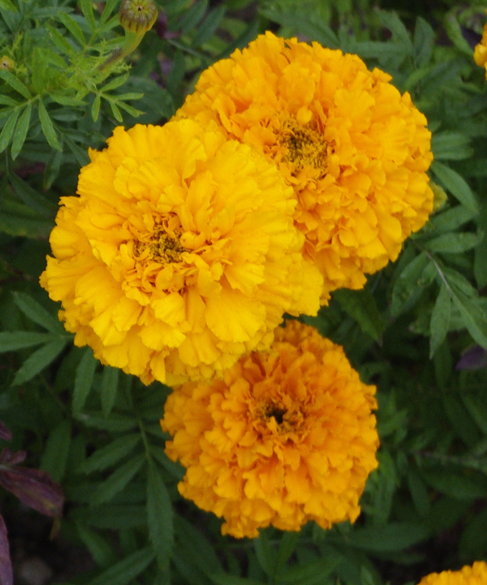Xanthophyll in Marigolds