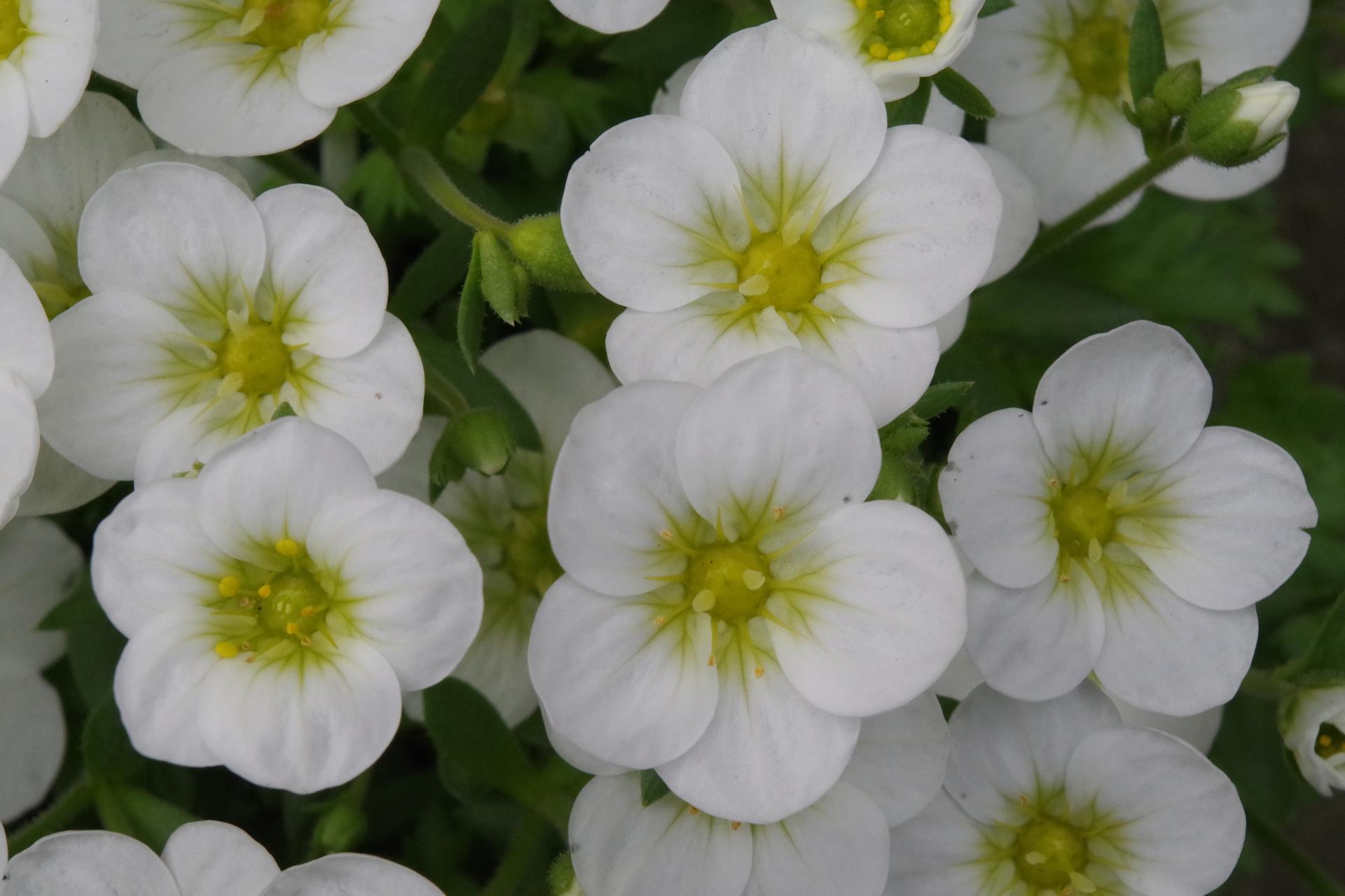 White Saxifrage