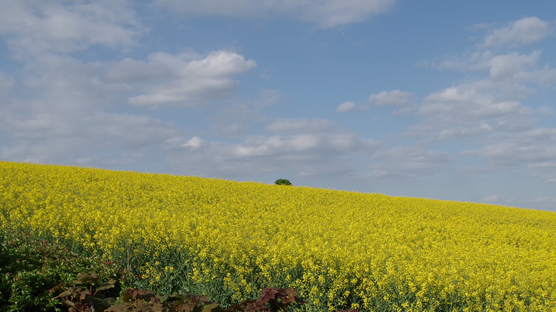 Field of Oil-seed Rape
