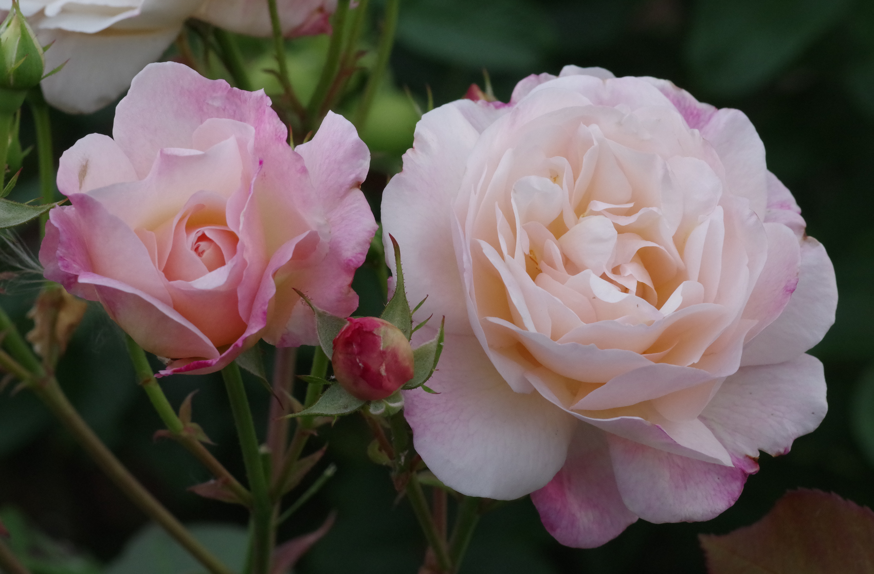 Rose - Gruss an Aachen