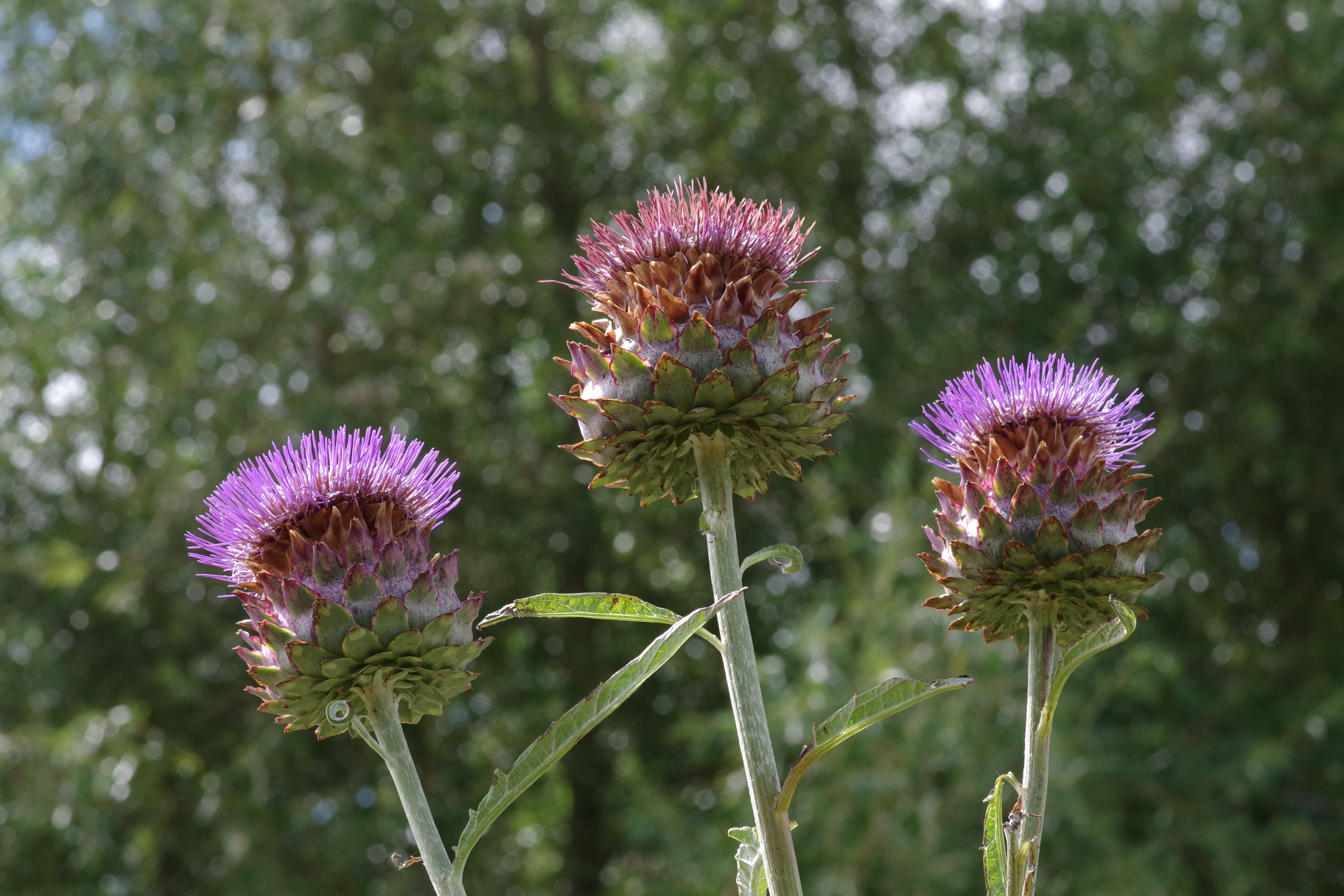 Large Thistle