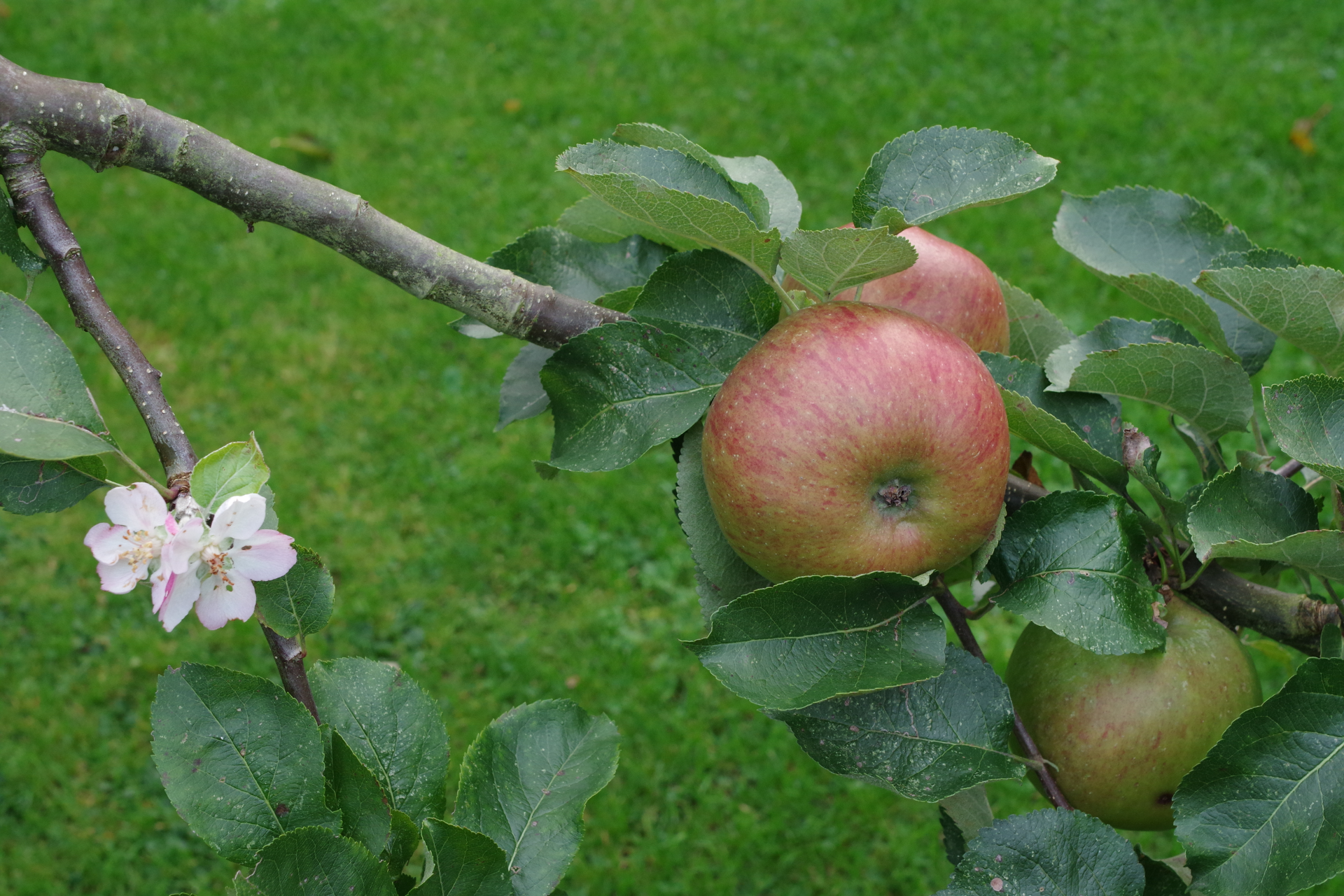 Apple Flower and Fruit