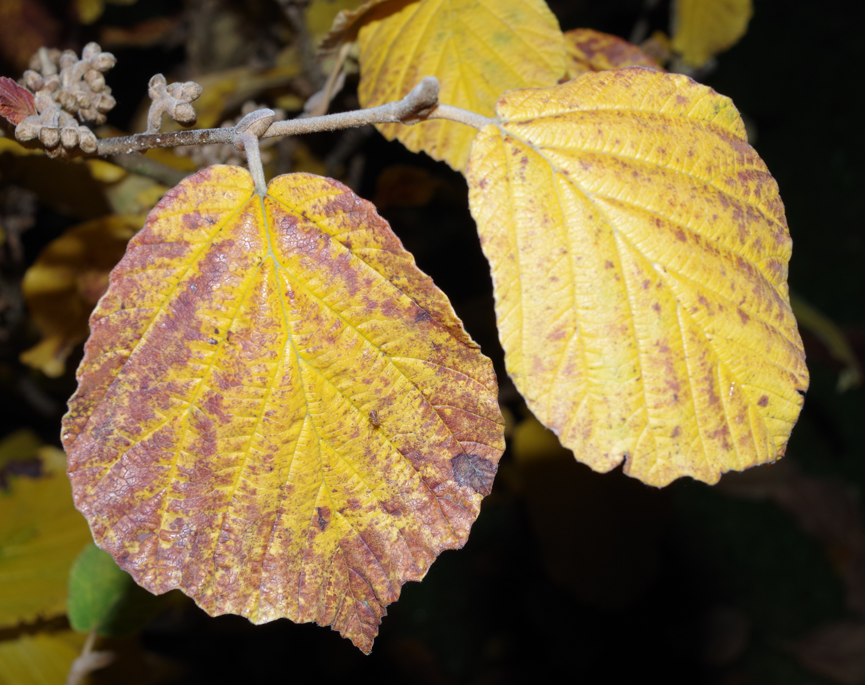 Hamamelis Leaf
