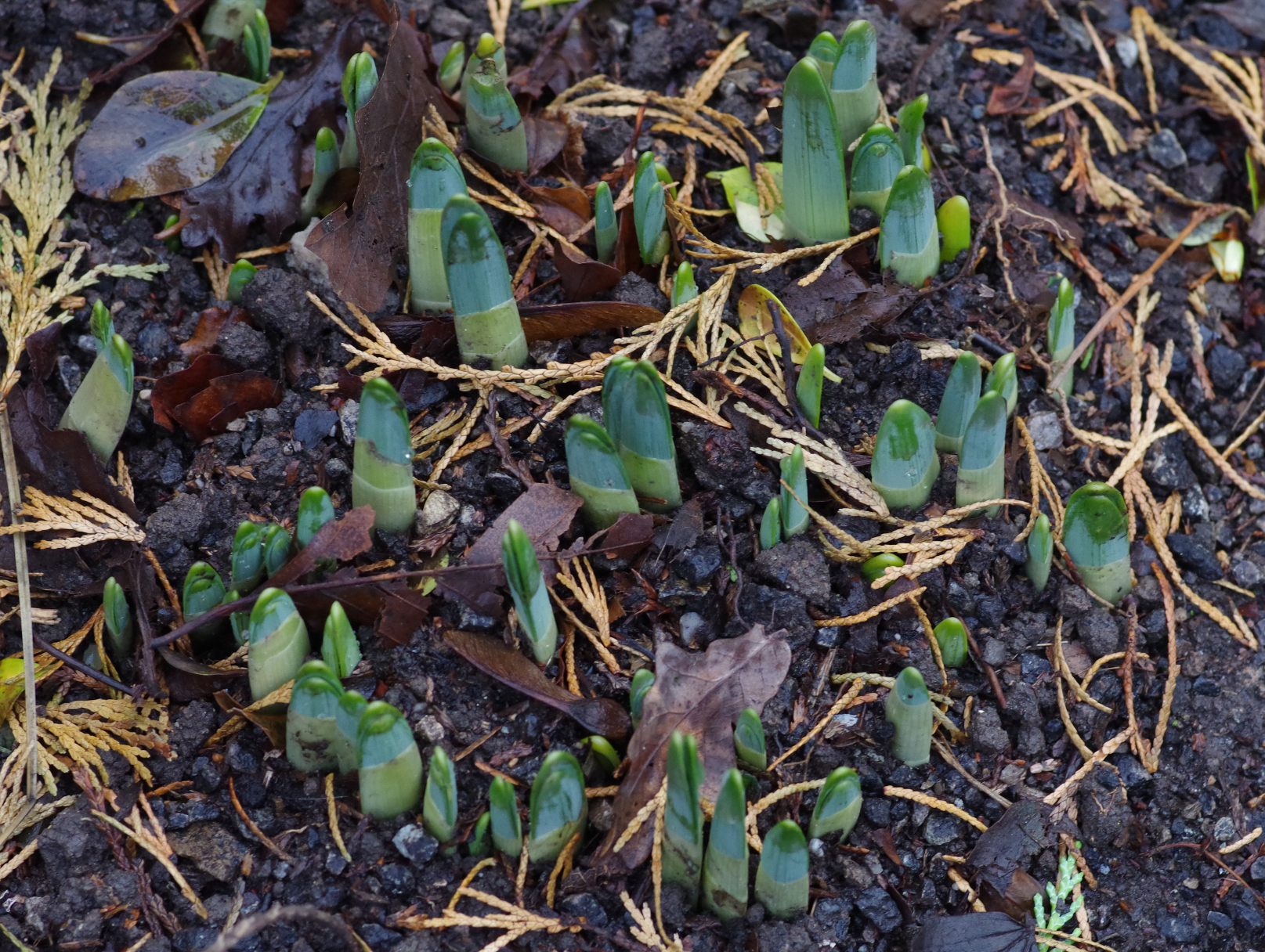 Shoots From Spring Bulbs