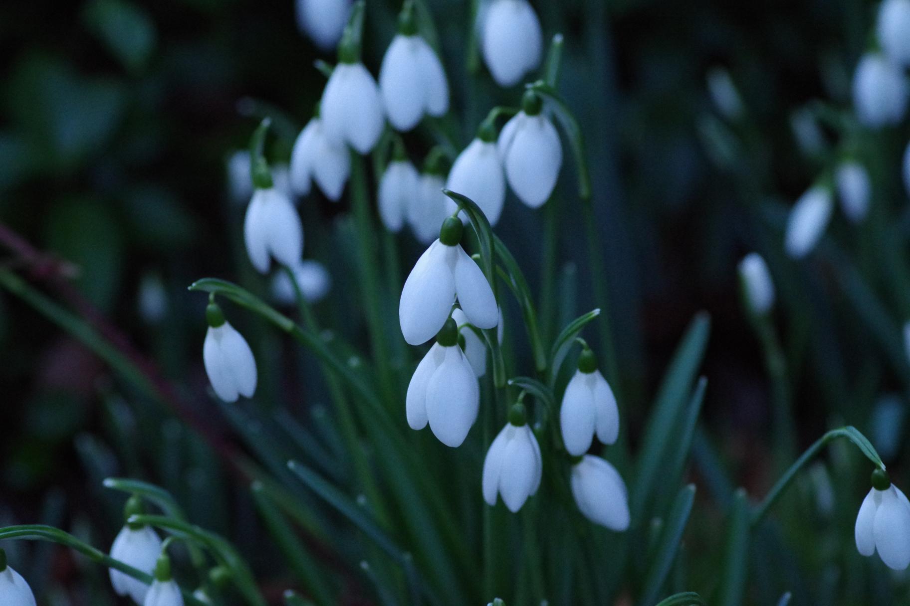 Evening Snowdrops