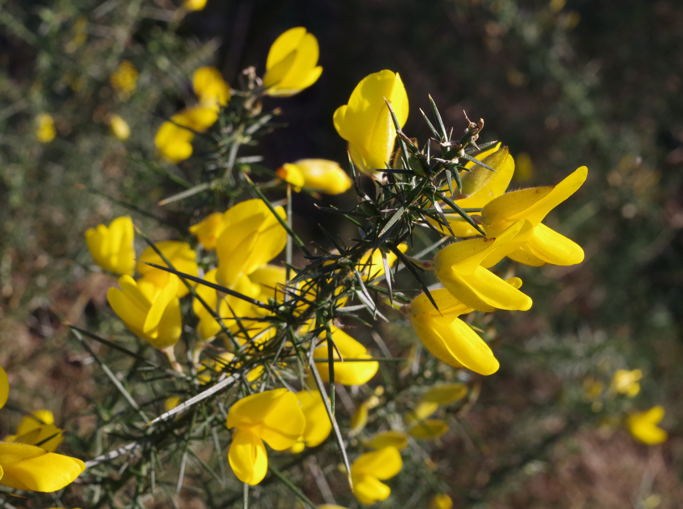 Gorse - Backlit