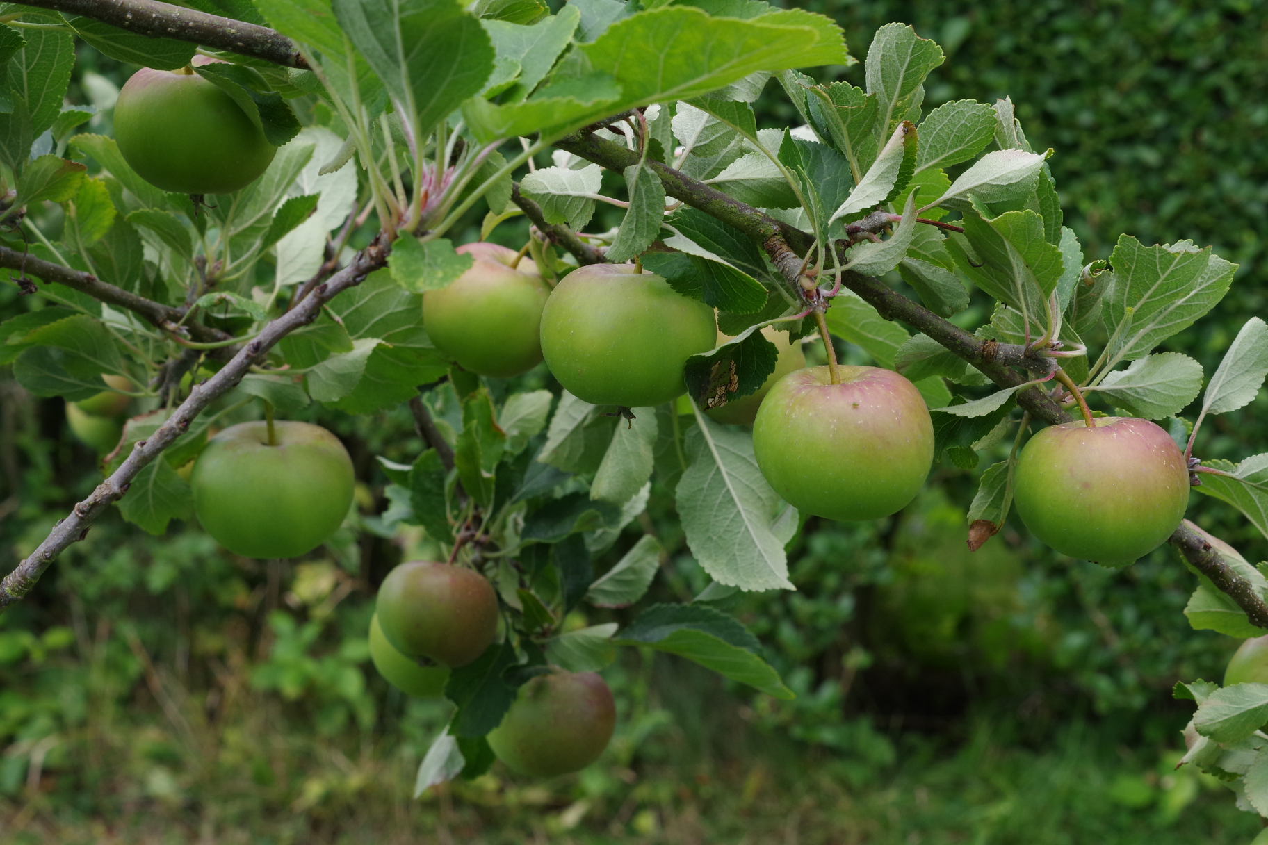 Small Apples Ripening