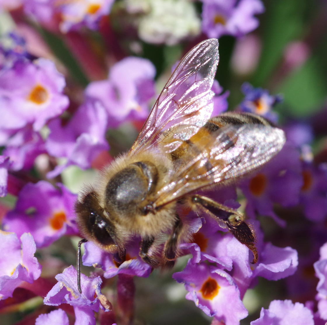 Honey Bee on Buddleia