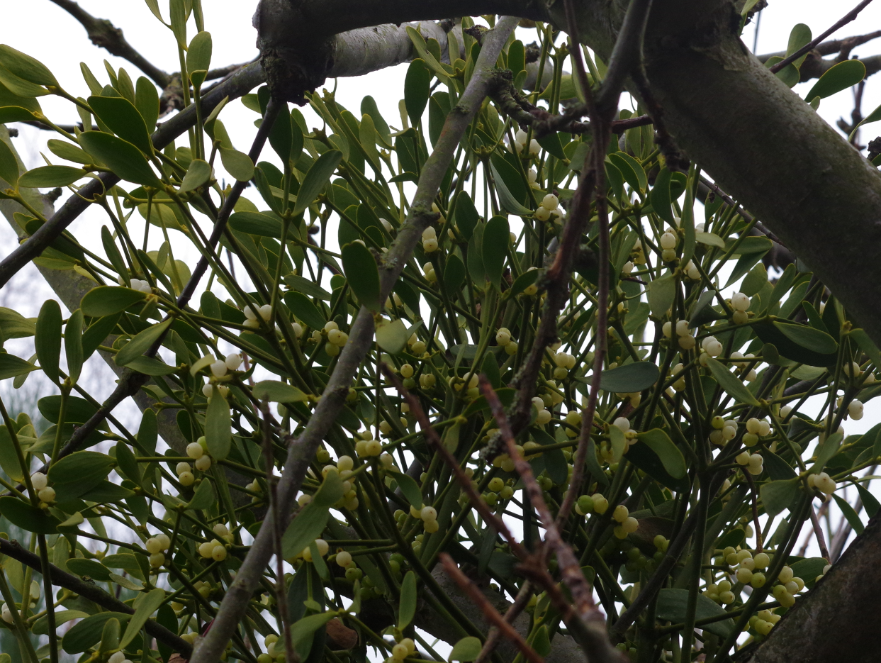 Mistletoe in Apple Tree