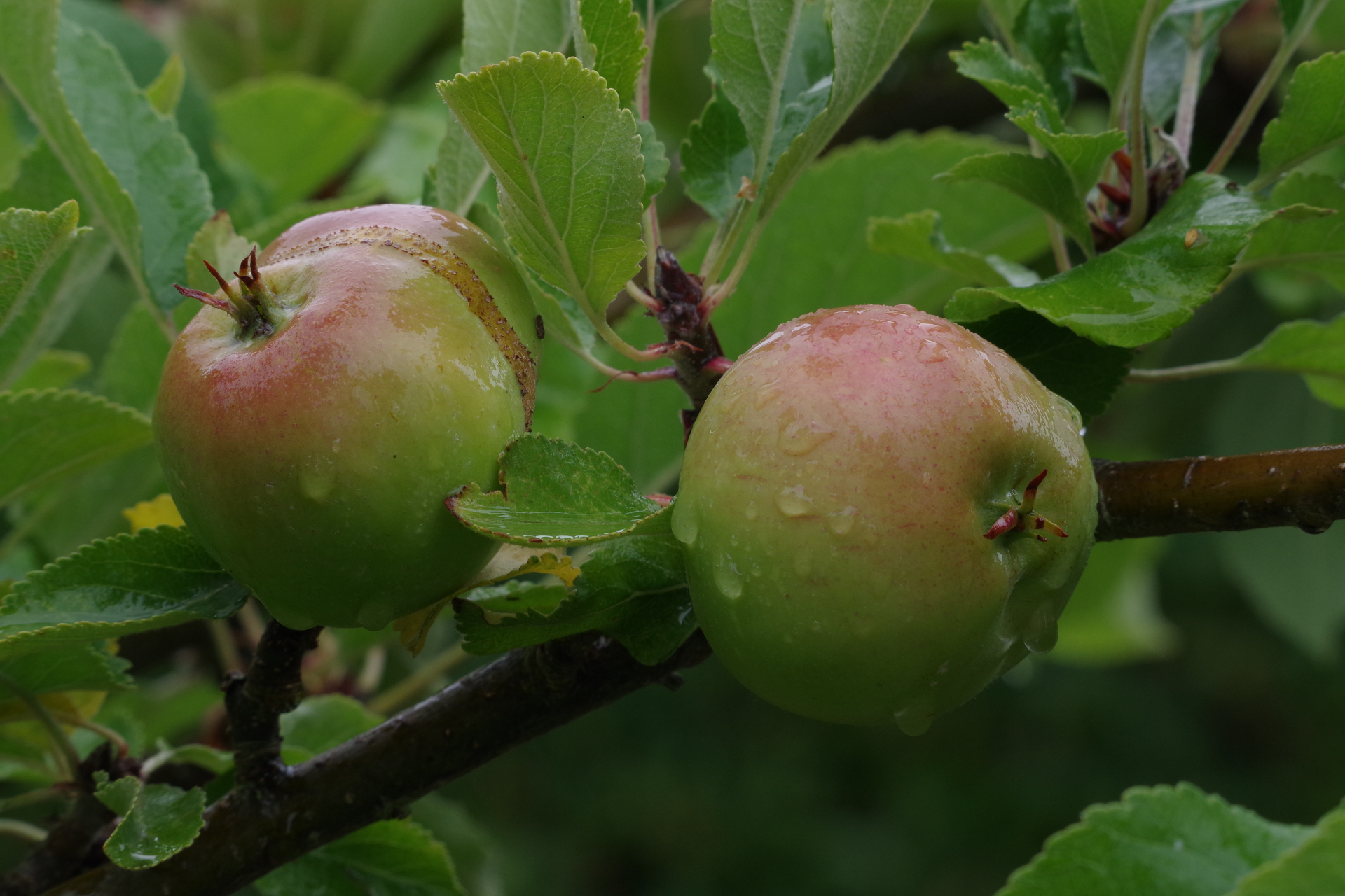 Rain on Apples on Tree