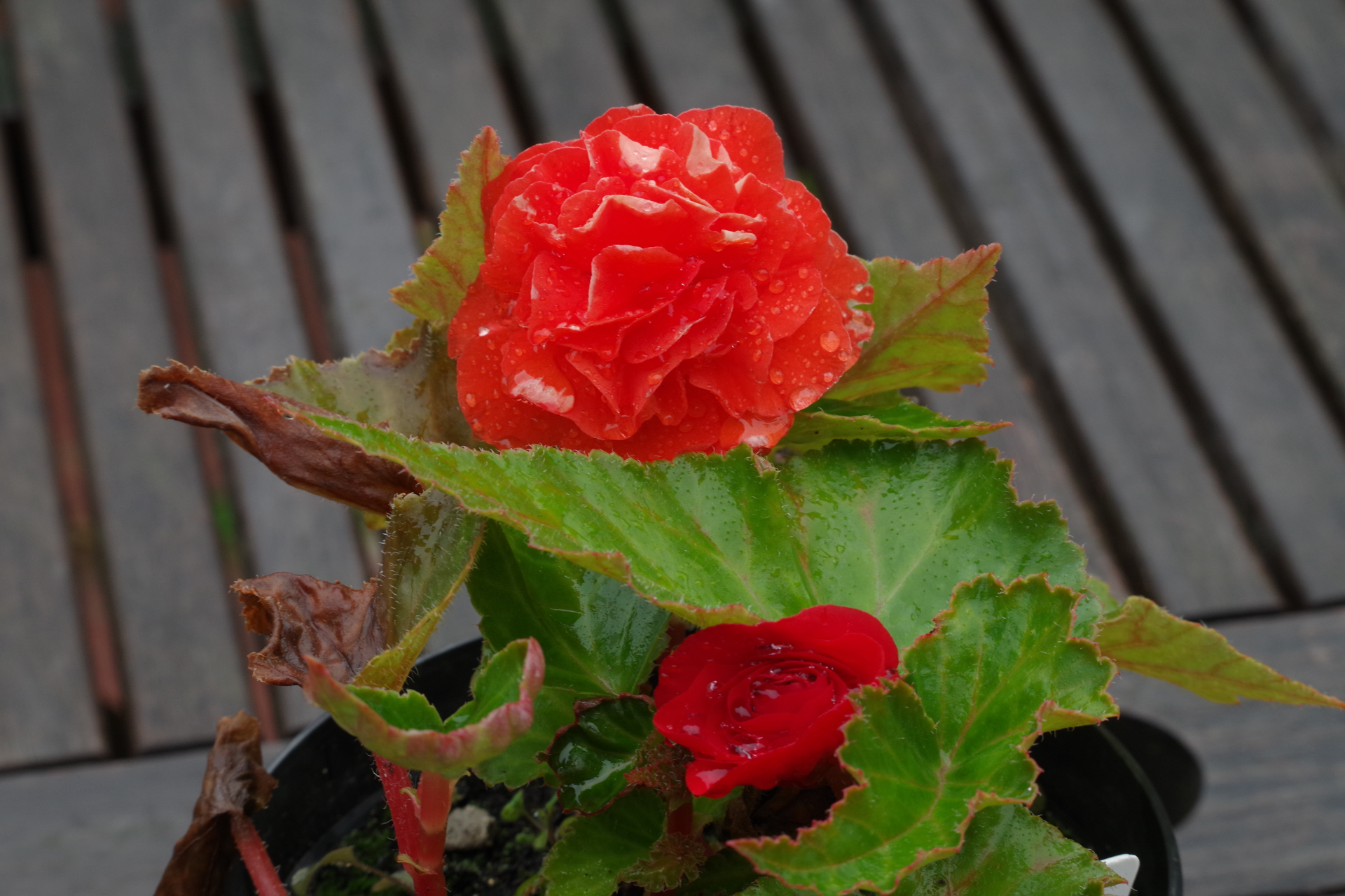 Begonia in the Rian